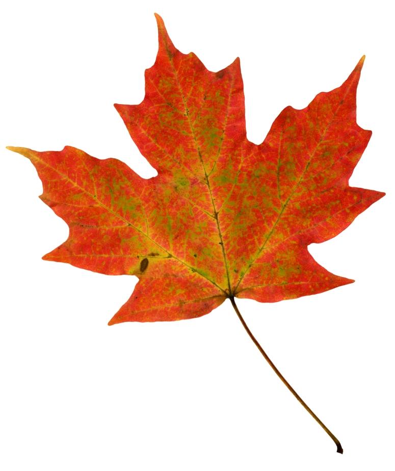 maple-leaf-1510431